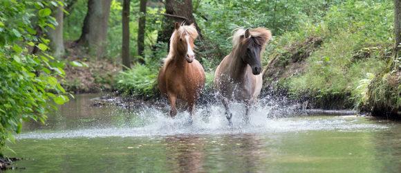 Pferde-im-Bach-1300x450px